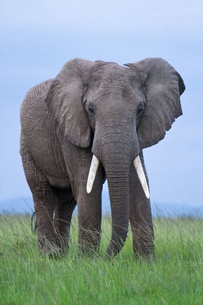 African Elephant bull. The skin of African elephants is much more wrinkled than the skin of Asian elephants.