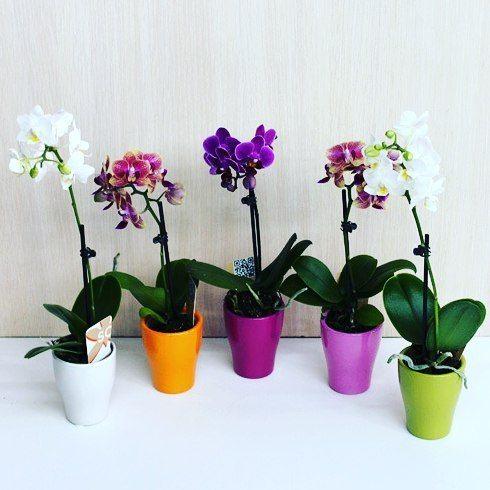 Наши красотки.Орхидея (фаленопсис).  Прекрасный цветок для вашей квартиры или офисаа так же изумительный подарок близким и  любимым . Принимаем предсказы. Первым 10 заказчикам скидка 10%. Стоимость орхидеи 1500 руб.  Уважаемые мои подписчики прошу с пониманием отнестись к стоимоститак как цветок не из тех который быстро завянет. Он будет Вас радовать на протяжении нескольких лет. Страна происхождение ГОЛЛАНДИЯ.  #орхидея #купитьподарок #подарок8марта…