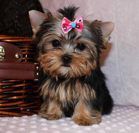 Gold and White Yorkies Potty Trained Teacup Yorkie