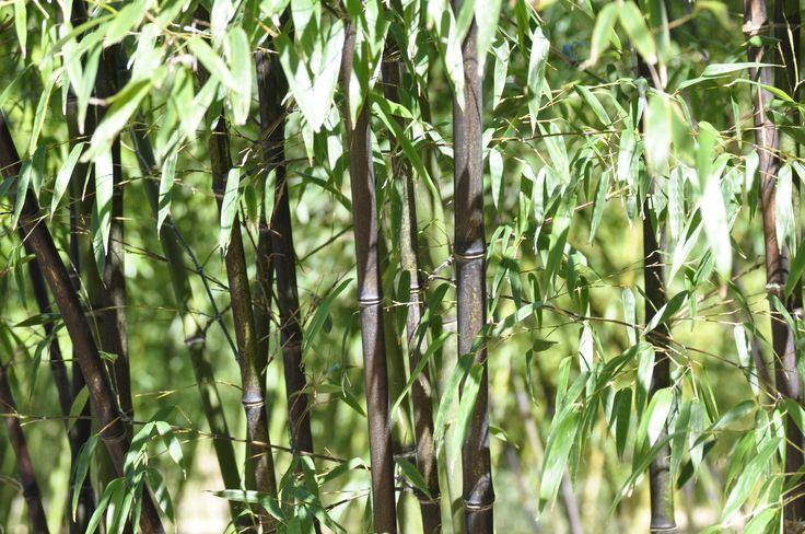 les 25 meilleures id es de la cat gorie phyllostachys nigra sur pinterest jardin de bambous. Black Bedroom Furniture Sets. Home Design Ideas