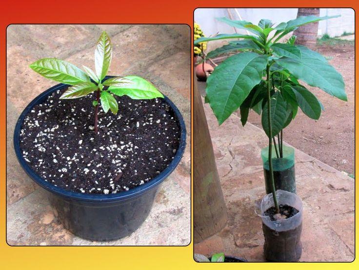 Neste vídeo ensino a como plantar uma muda de abacate em um vaso. Na primeira parte mostrei como germinar o caroço em meu outro vídeo, link abaixo: Como Plan...
