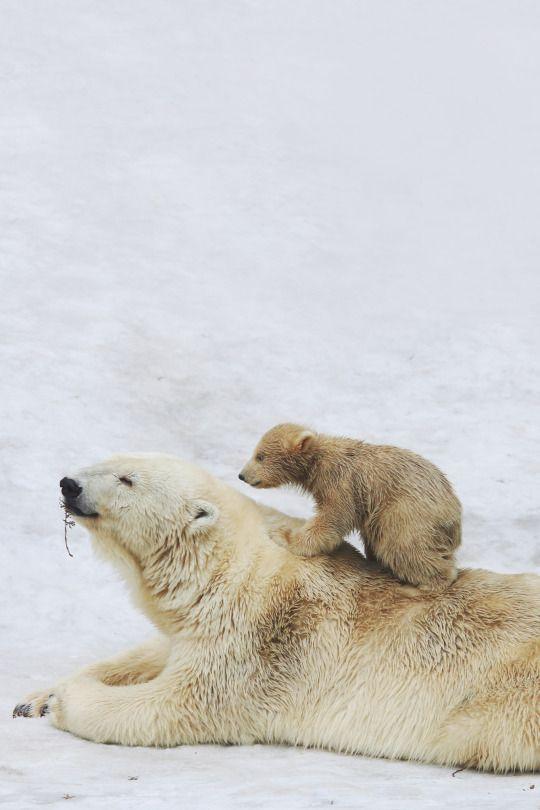 les 264 meilleures images du tableau ours polaire ours. Black Bedroom Furniture Sets. Home Design Ideas