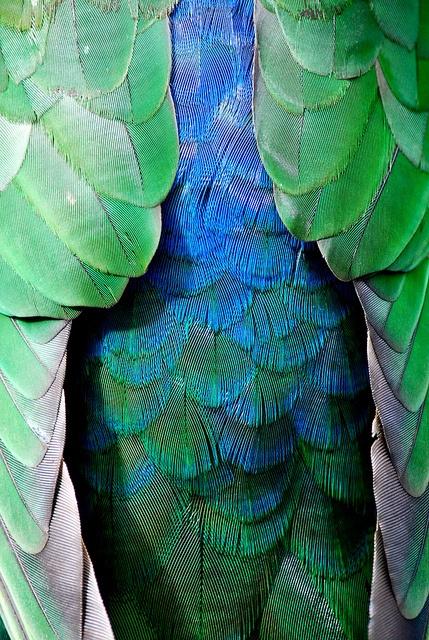 King Parrot by Amy Feldtmann, via Flickr