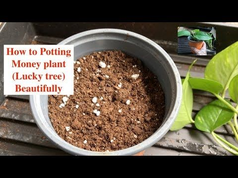 Potting Money Plant – Part-2 – Plants & propagation
