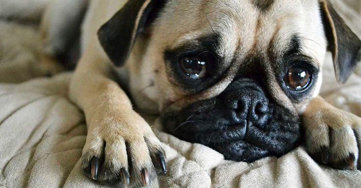 """Si tu perro destruye cosas cuando te vas de casa es debido algo llamado """"ansiedad por separación"""". Estos son unos cuantos tips que te dirán como ayudarlo"""