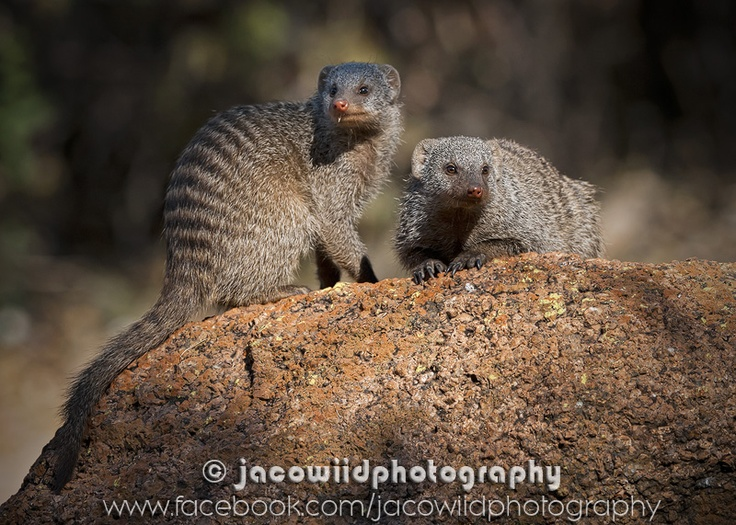 Banded Mongoose in the Kruger National Park