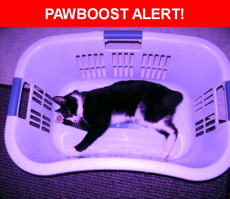 Please spread the word! Shortcut was last seen in Spencerville, MD 20868.  Description: Large (12 lb) Black w/white Manx male (neutered), age 4yrs.  The photo is from 2012. He is VERY Friendly, loves the outdoors, has a large compact body with long. strong back legs, typical of the Manx. He has 2 brothers, back home. The rumpy Riser Manx Is Distinct. Shortcut might have been 'Intentionally' taken, having had his collar removed, and another collar put on, but then all tags removed. He's…