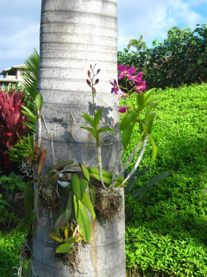 Orchids growing on palm tree.