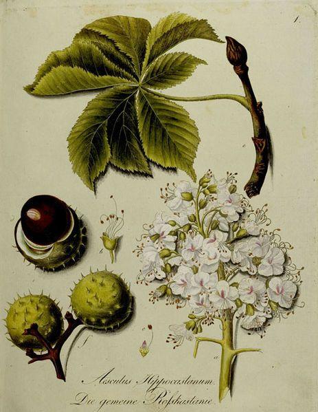 """Coloured engraving of Aesculus hippocastanum ( Horse Chestnut)from """"Abbildung Der Hundert Deutschen Wilden Holz-Arten Nach Dem Numern-Verzeichnis Im Forst-Handbuch von F. A. L. Burgsdorf."""" Stuttgart 1790-1795.  http://www.ub.uni-heidelberg.de/allg/benutzung/bereiche/handschriften/megenberg2009/exponate/sektion3/III_34.html  Wikimedia"""