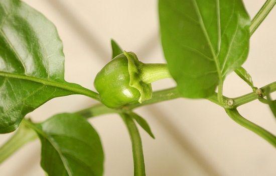 Paprika selbst anbauen - unser Garten-Tipp zum Frühling