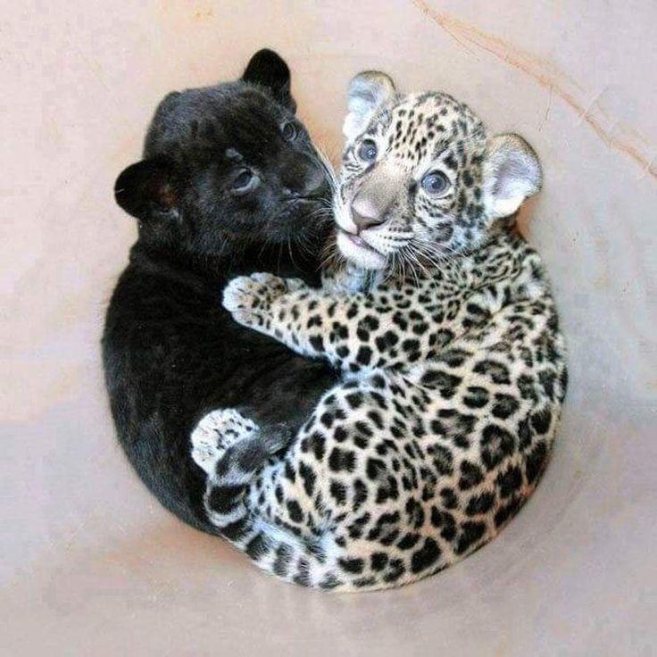 A baby jaguar cuddling a baby panther