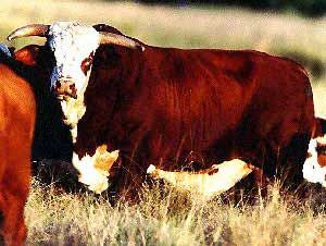 Breeds of Livestock - American Braford Cattle