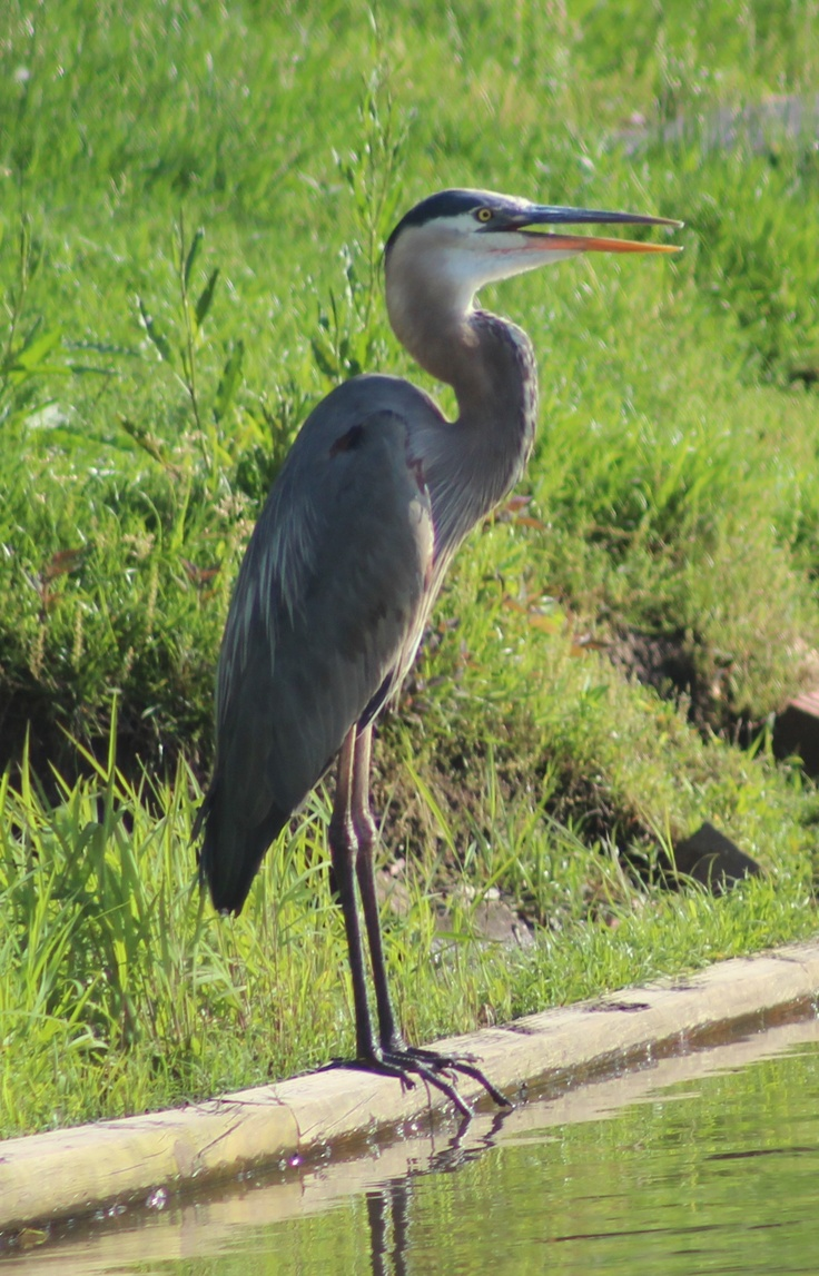 Birds Brown Thrasher Virginia
