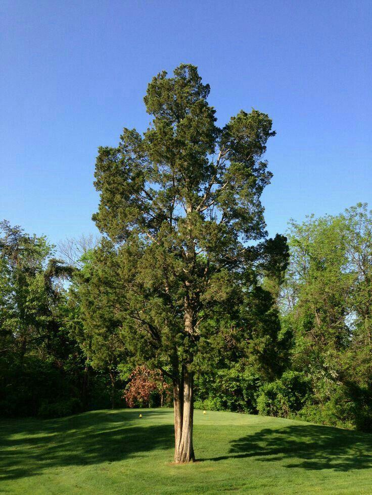 Eastern Red Cedar 40u0027 50u0027 Tall 8u0027 20u0027 Wide Evergreen