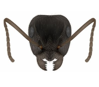 Black Garden Ant species - Lasius niger. Facts, Identification antARK