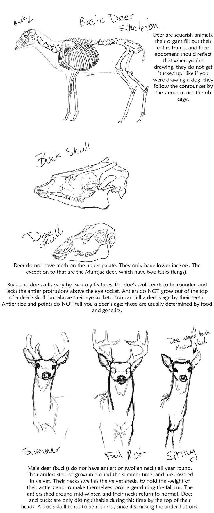 Basic Deer anatomy tutorial by creepygoth666.deviantart.com on @deviantART