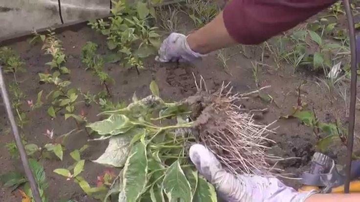 Зеленое черенкование гортензий, крыжовника, ивы и пр.