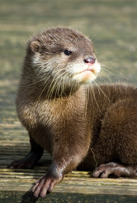 Otters are adorable...I saw one today from my balcony .... coming out of the lake..into the woods....exciting!