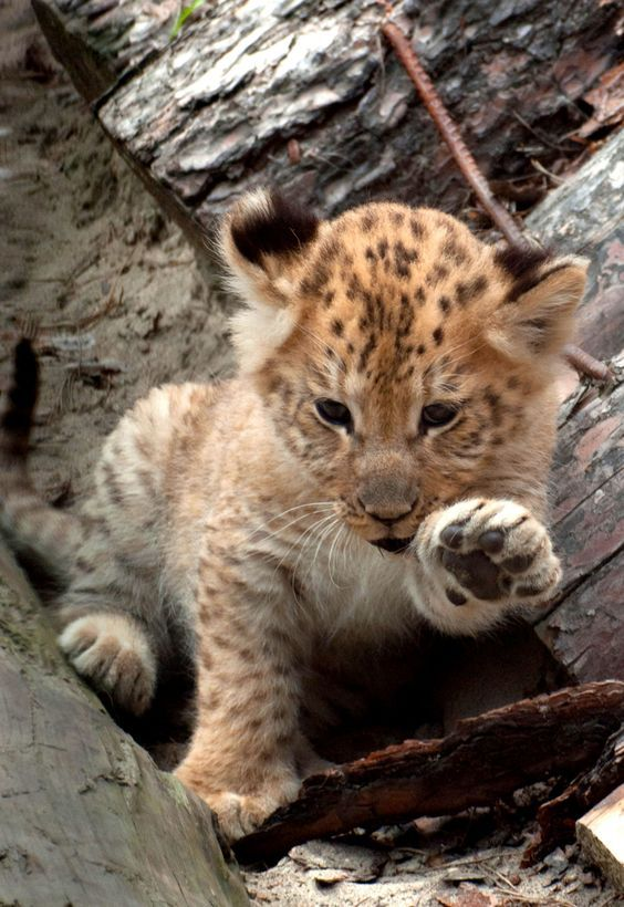 Liger cub (look it up, very interesting)