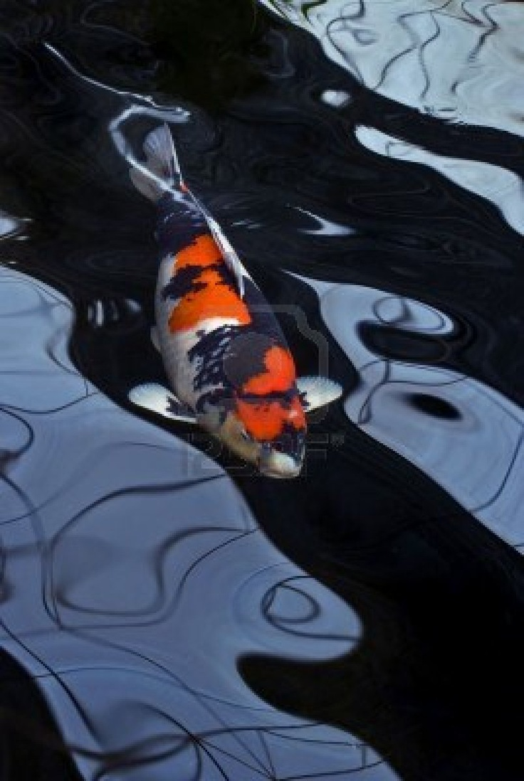 A red, white and black Showa koi carp swimming in a dark pond and distorted by the water.  Stock Photo
