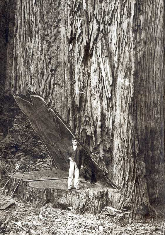 online shopping men sequoia tree logging   Falling the Big Ones  or cutting down a coastal redwood by hand
