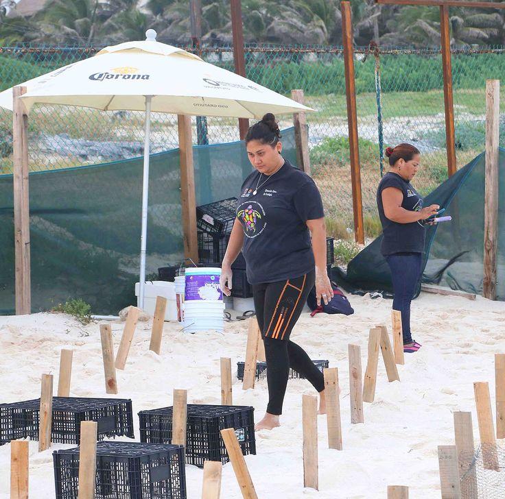 Cancún, Quintana Roo a 12 de noviembre de 2017 |SIM|.- Constatan la muerte de varios ejemplares de tortugas marinas que estaban en el corral que quedó atrapado dentro del proyecto de hotel Gran Sirenis Cancún, a un costado de la playa Delfines de la Zona Hotelera de esta ciudad. Voluntarias de la Dirección de Ecología…