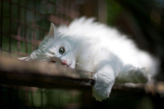 Norwegian forest cat, photography by Susanne Hvenegaard