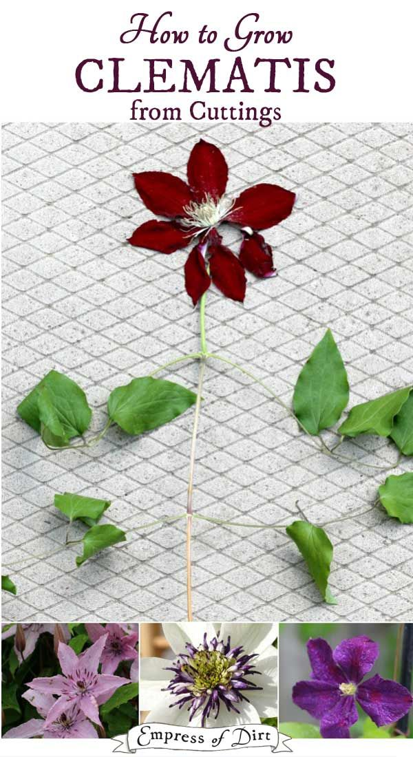 How To Propagate Clematis From Cuttings Clematis Plants Plant Cuttings