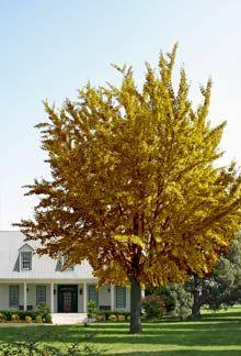 Ginkgo Tree on Fast Growing Trees Nursery