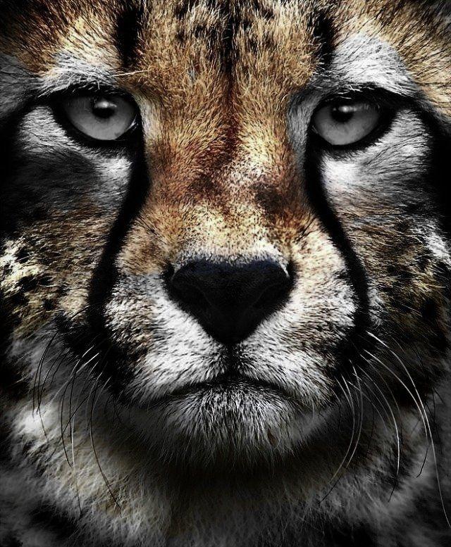 Cheetah Face... ROCKS!