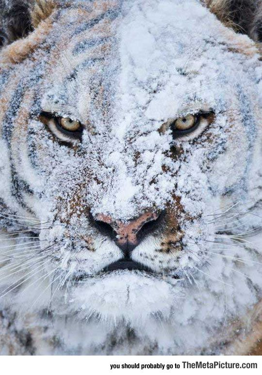 Hello. I'm rock. I'm a grumpy old tiger and I live in the snow. I hate everyone. Thank you.