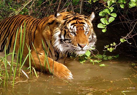 Wild Tiger Population Dropped by 96.8% in 20 Years : TreeHugger