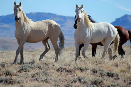 Bachelor Band of Wild Mustang Horses  I just LOVE the Wild Mustangs!!