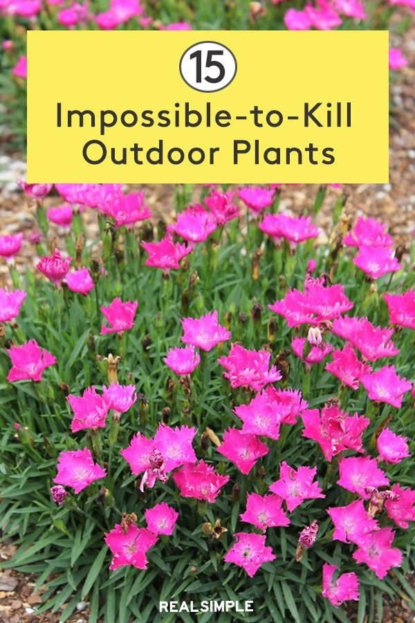 15 Impossible To Kill Outdoor Plants In 2020 Outdoor Gardens Landscaping Plants Outdoor Plants