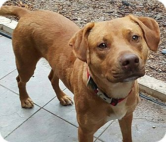 08/28/16-Houston, TX - Vizsla Mix. Meet Tank, a dog for adoption. http://www.adoptapet.com/pet/15030825-houston-texas-vizsla-mix