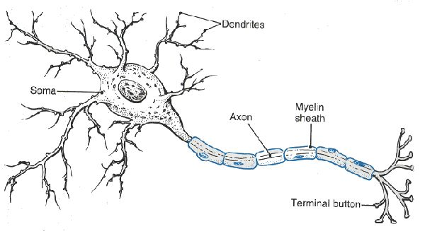 Neuron A Nerve Cell That Sends And Receives Electrical Signals Over Long Distances Within The Body Neurons Nerve Fiber Nervous System