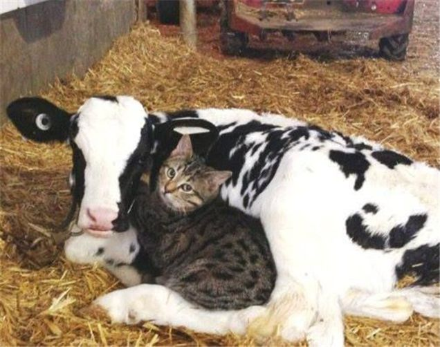 Cow and Cat Snuggling Together