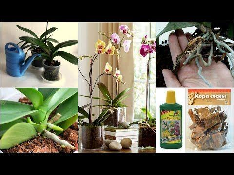 БАЗОВЫЙ УХОД ЗА ОРХИДЕЯМИ | полив, субстрат, цветение, корни - YouTube