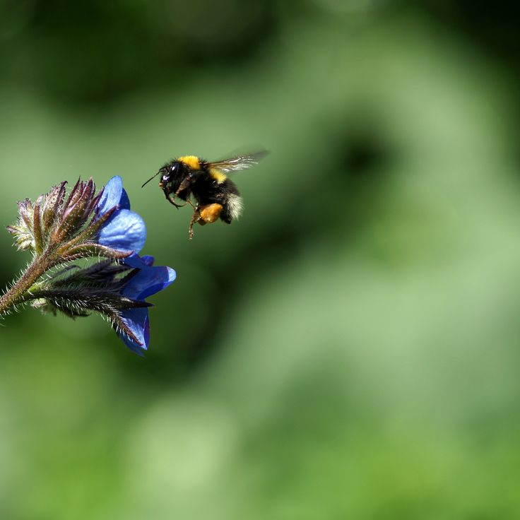 All sizes | Bumblebee | Flickr - Photo Sharing!