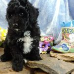 Aussiedoodle Puppies for Adoption & Hypoallergenic Puppies For Sale   Double R Doodles