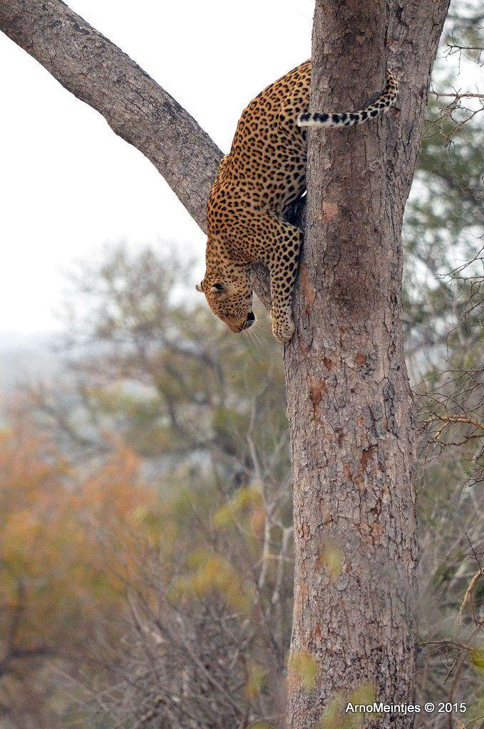 https://flic.kr/p/vGYAWe | DSC_3346 | Leopard in tree