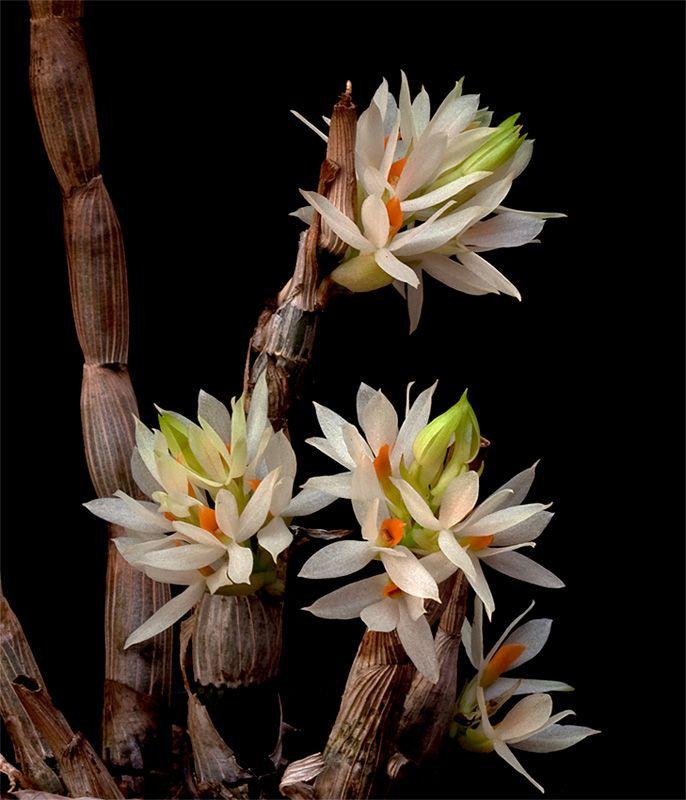 les 20 meilleures id es de la cat gorie orchid e rare sur pinterest fleurs rares fleurs. Black Bedroom Furniture Sets. Home Design Ideas