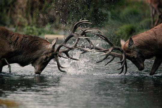 Deer Rut   by Phil Gould