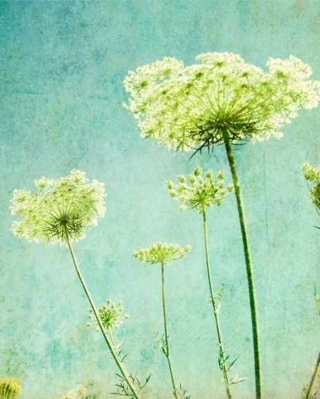 Flower photography print - The view looking up through the lacy patterns of the Queen Annes lace flowers against an aqua blue sky with a soft