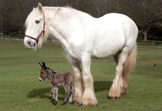 Gulliver the Shire and Apollo the donkey