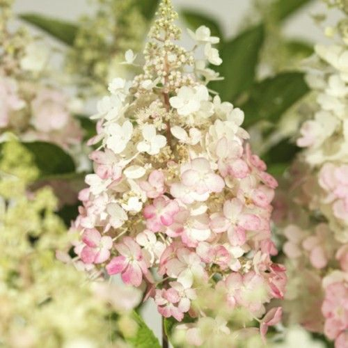 Syrinhortensia 'Pinky Winky' 80-100 cm