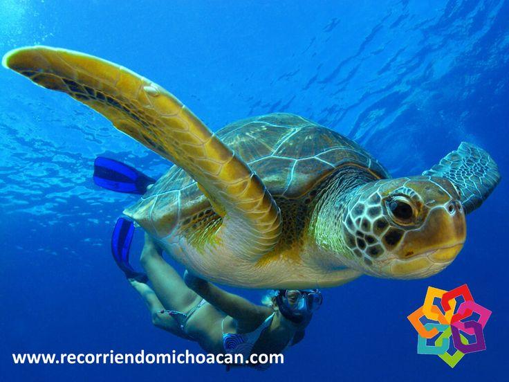 RECORRIENDO MICHOACÁN. De las ocho especies de tortugas marinas que existen, cuatro de ellas llegan a desovar año con año a las costas de Michoacán. Este hermoso espectáculo lo ofrecen las especies de tortugas Laúd, Negra, Golfina y Carey. Este sitio es el más importante del continente para la reproducción y desove de estas especies. Le invitamos a recorrer el hermoso estado de Michoacán.  HOTEL ALAMEDA http://www.hotel-alameda.com.mx/