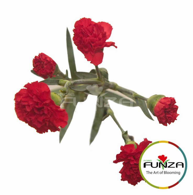 Red Spray Carnation from Flores Funza. Variety: Arangon. Availability: Year-round.