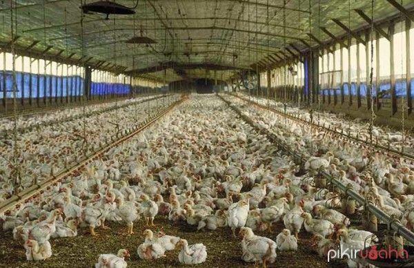 Kendala Beternak Ayam Potong Pedaging
