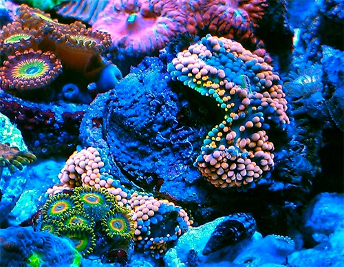 Nano Forums F S Chalices Zoa 39 S Paly 39 S Cheap